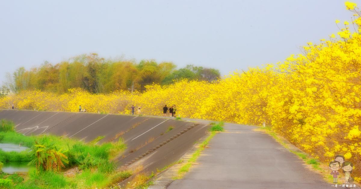 嘉義大林_陳井寮堤|綿延兩公里長的金黃花瀑!盛開在堤防之上的黃花風鈴木