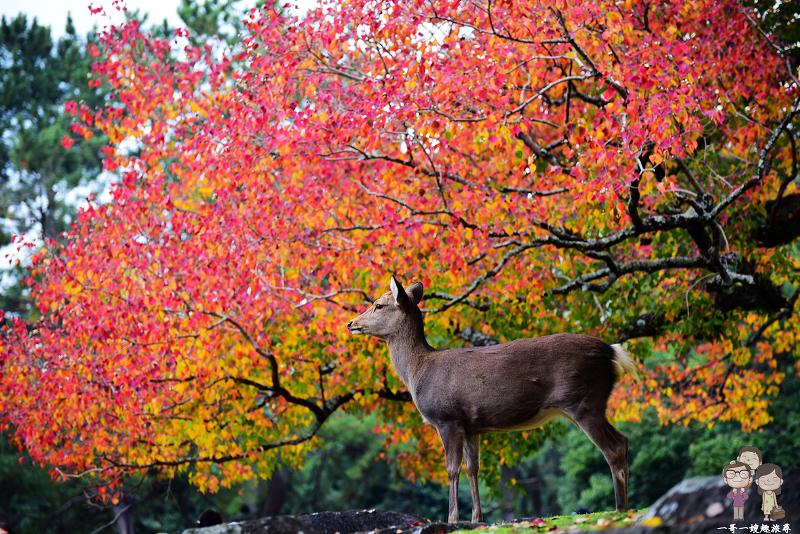 奈良賞楓|紅葉與小鹿們的幸福相遇,正在奈良公園上映中