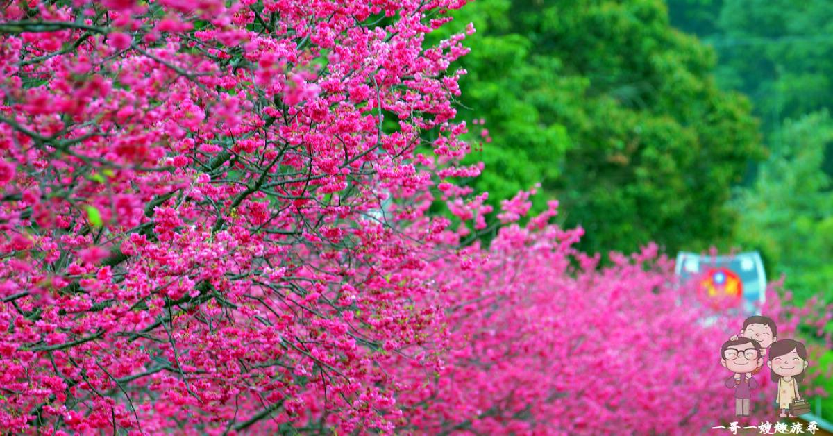 台中后里賞櫻花|泰安派出所~全台最美的櫻花派出所!
