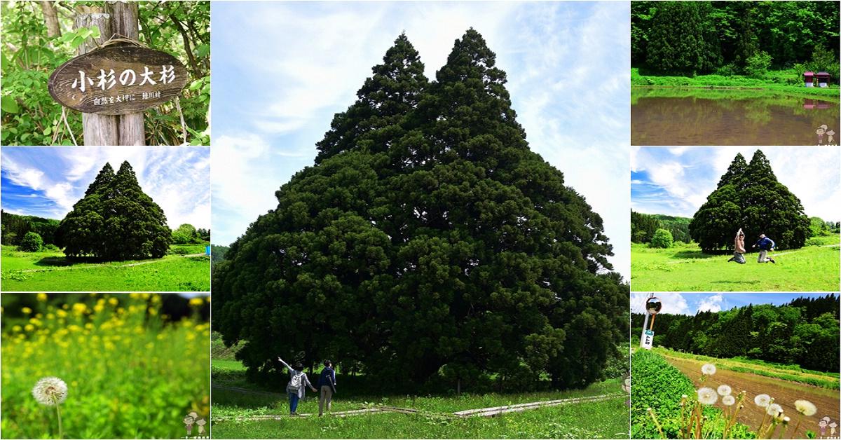 山形自駕順路景點|千年樹齡之小杉の大杉,就是敲可愛的龍貓樹(トトロの木)
